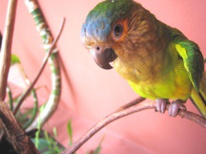 canaima parakeet